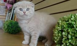 Elite scottish fold kittens for sale! 2 months old. Different colors of fur. Folded and straight ears. Males and females. Playful, energetic, and potty trained! Guaranteed to make you happy! Health is guaranteed! The perfect present for Mothers