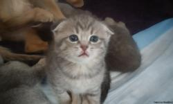 These are beautiful, exclusive Scottish Fold kittens that are about 5 weeks old and will be ready for sale in about 3 weeks.. They are healthy and playful, home-raised here with our dam. They are healthy and come with all documentation and a guarantee