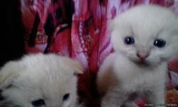 Two sweet fold kittens, one male, one female both white with gold tip ears and tail. They are five weeks old and litter box trained, please email if interested, campbellvillequeen@gmail.com