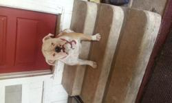 He is 13 months old. White with tan. A Big baby. Is housed trained. We are moving and can't have dogs at our new house.