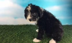 Howdy, I'm Shania, the beautiful black and white female Standard Aussie-poo. I was born on May 27, 2016. I like hearing that I am a good girl! They're asking $750.00 for me.  I'll come with my shots and worming to date. If you think I'm the