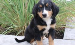 This is Shea and she is a darling tri-color female AKC Bernese Mountain Dog, she is so sweet and loving. She was born on June 3, 2016. She will come up to date on shots and worming. The asking price $899.00 for her. Her mom weighs 85 lbs