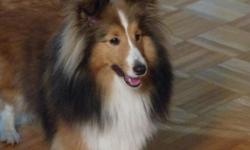 1 year old stunningfemale sable and white with mahogany splashingSheltie AKC/CKC registered Champion Bloodlines Great confirmation, small 13 pounds Sweet and playful temperament and housebroken great family