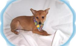 """This baby boy is spirited! He is crazy playful. He is a Shiba Inu and Chihuahua mix-""""Shibachi"""".He would love an active family to call his own.He is micro chipped.He comes with his first series of shots, wormings and a Vet Health Certificate. He also comes"""
