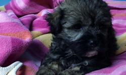 Beautiful puppies,non-shedding and great family pets.These puppies will be 10-14 pounds when grown.Dad is a toy Poodle and mom is a Shih-Tzu.Each puppy will go home with a puppy care package that includes a toy,food,and shot record.