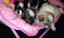 1st shot, wormed, male and female, 8 weeks old. $400. cash. FMI call 317-372-4231