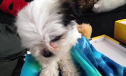 Cute little puppy's shih-tzu  8weeks old first shots & Deworm  healthy playfull need a new home  asking 380 (951)2072155