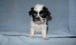 Sweet little Shih-Tzu pups. Can leave at 8 weeks old. They are very playful and love to be held and cuddled. They will be up to date on shots and worming when they leave. Each baby comes with a toy, puppy pads, food, and treats.