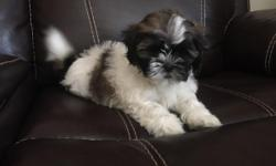 Born April 27th 8 weeks old, wee wee pad trained. Negotiable. Can call or text me at3475708586