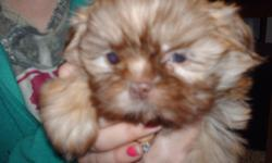 shihtzu boys 8 weeeks old now..... both mom and dad ar eimperialakc shihtzusboth weigh under seven pounds..puppies have 1st shots done deworming done ( parasite free ).. also and are wearing