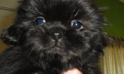 I have a black male shih tzu puppy for sale. He is a doll baby. flat face, short legs, very happy and active. CKC reg. 1st shot, health checked, and starting to use potty pads. for infor call 270-299-5719 thanks.