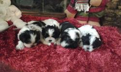 For sale we have 4 males black and white The mother is Shih tzu purebread and the Dad is Shih Tzu and Maltese mixed Vet checked first shots born10-14-2013 I live in Greenfield In, 46140 350.00 cash only If you have any questins cal --