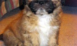 adorable, *nonshed* babydoll faces, potty pad trained, SMART SWEET AND LOVING FAMILY COMPANIONS. 9 WEEKS OLD. females>495.00. first shot, wormed, written health guar. call for more info> 916 992 1544.........no text or emails, thanks.