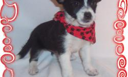 This baby is a sweetie. He loves to be with people and has a great personality. He is a Shih Tzu and a Chihuahua Mix.He comes with his first series of shots, wormings and a Vet Health Certificate. He also comes with a complete puppy packet that includes a