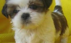 Shih tzu puppies. contact us directly via Text at 240 844 2360