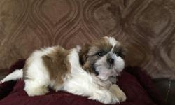 Adorable Shih Tzu puppies.Champion bloodline,non shedding balls of fur.Loves cuddling and great breed around children.These puppies are already using the doggie door and now ready to meet their new families.Female $300.00 Males $250.00.