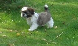 4 Male CkC reg. Shih tzu puppies. Deposits being taken of 50$(non refundable). Will be ready to go Aug. 6th at 9 weeks old. 3 vet visits. 3 worming, first puppy shots all vet records included in adoption. 250$ due at pick up. Reference will be asked for