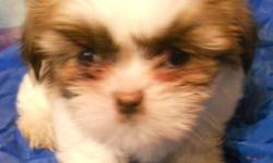 Male and Female Shih Tzu Pup. Tri-Colored withorange accents, beautiful Local San Antonio, TX. N. W. Side off of BAndera and Mainland. Call Bob @ 225 939 3111