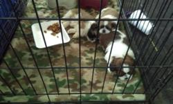 1 female 2 male shih_ tzu pups 8 weeks old with 1st shots to good homes. Hurry they go fast