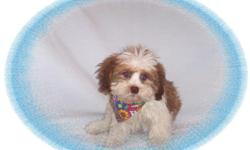 This baby boy is awesome! He has a very sweet and gentle personality. He would make a great pet for children. He is a Shih Tzu and Poodle mix. He is hypo allergenic and has a great non shedding hair coat.He is micro chipped.He comes with his first series