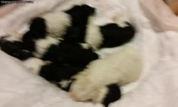 We have 6 adorable shihpoo puppies that need a loving good home we have 4 girls 2 boys they are black and white and 1 of the boys is white with a Little cream color on it both parents are on site please Contact 8052026713 or jessruiz805@gmail.com they