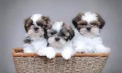 SHIH TZU PUPPIES 3 little boysThis isBailey, Bently and Buddy $300 each 1st shots and dewormed ready for Loving homes Call 317 985 0505