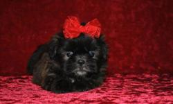 1 Male ShihTzu born on 5-15-11. UTD on shots and comes with a health warranty. *?* Credit Cards Accepted (Visa/MasterCard???) ** No Credit Check Financing Available (Please Inquire) ** Shipping Available ** Microchipped ? ** APRI Registered For More Info