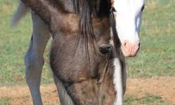 Bell is 6 yrs. old with 2 month old Shire X Drum foal