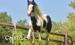 Bell is 6 yrs old with a 2 month old American Drum Filly at her side. The first picture on their images is the Sire Alexender. For more information call Tanya .you can also find more information. On this pair on equine.com