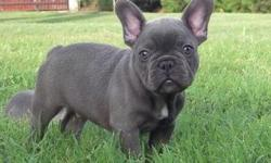We have the smallest, cutest, best looking, top quality puppies in the world.Our frenchies truly are a part of our family and we enjoy them immensely. We have an outstanding frenchie house that we built for them that is completed with siding and rock and