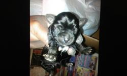 Shorkies puppies 3 males beautiful and they want last very long will do layaway 3/14/14 get that order in ASAP if u want
