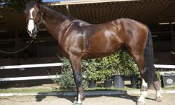 Solancor was awarded 1st premium at the 2008 KWPN Keuring. He was named the 2th Place Jumper Colt in North America with the KWPN-NA ?Top Fives?. He has ideal conformation, excellent movement, and a sane, sensible temperament. This is an outstanding horse