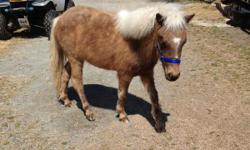 """DOB 4-25-2012 A RARE Beautiful Silver Dapple Palomino Gelded Colt . He loves to be with the the Herd, and you. Make him part of your family. The Topside:Blue Buckeroo, Foxy Queen, Del Teras, Komokos. His Dame is """"Fiona of NC"""