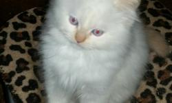 1 kittens born August 25, 2015, flame point male $200. I have 1 blue point and 1 flame point born September 11, 2015. $200. They are 2/3 Himalayan and 1/3 Siamese. I almost can not tell the difference with their looks. $200.