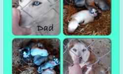 Siberian Husky puppies for sale! Beautiful, lovable blue-eyed puppies born on 3-24-14! ACA registered and have up-to-date shot at time of pick up. $100 deposit to reserve your pup! Mother and father on site. ($600) Call or text can't Gregory at --.