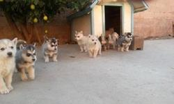 We have 8 good looking Siberian Huskies born11/1/12 for sale just in time for Christmas!!!!will be ready 12/19/2012 some have blue eyes, Hazel and bie eye. We had a litter of 11 but already have deposits on 3 pups. these Pups are full
