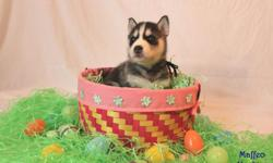 We are very proud to offer high quality Siberian husky puppies for forever pet homes. Siberian Huskies make wonderful companions and are very loving. Our puppies are members of our family from the moment that they are conceived. They are handled from day
