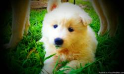 SIBERIAN HUSKY/SAMOYED PUPPIES 5 beautful puppies are looking for good homes. The father is an AKC white wooly coat Siberian Husky and the mother is a beautiful Samoyed. The parents both have wonderful temperments and are very beautiful, and we expect the