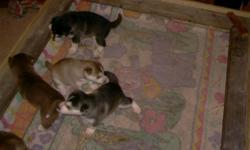 i have 3 female siberian husky puppies with papers that are 6 weeks old asking $350 obo if interested call 419-636-6076