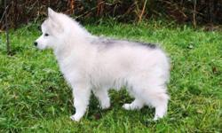 We have Siberian Husky puppies available to go to their new homes. They are non shedding and hypoallergenic. Our pups are very well socialized and make excellent family companions. They have their veterinary health certificate, age appropriate