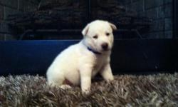 Male white with blue eyes AKC registered