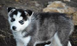 Very Nice little Husky's. Lots of fun. Registred, Shots, Wormed 8 Weeks old I have 4 Males, 2 Females 2 Red/ white Males 2 Black/gray/white Males 1 White Female 1 Black/gray/white Female