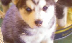2 Girls, 10 weeks old, shots up to date, blue eyes, friendly & playful Interested please call 909 561 7150.