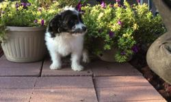 Hello! I'm Sidney, the sweet black and white female Papipoo! I was born on June 4, 2016.. My moma is 15 lb Papillon and my papa is a 10 lb mini poodle.They're asking $495.00 for me! I'll come home with you shots and worming to date! I can