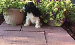 Hello There! My name is Sierra! the sweet black and white female Papipoo! I was born on June 4, 2016.. My moma is 15 lb Papillon and my papa is a 10 lb mini poodle.They're asking$495.00 for me! I'll come home with you shots and worming to date! I