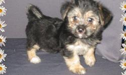 1 Male Silktese (Silky Terrier/Maltese?) born on 5-28-11. UTD on shots and comes with a health warranty. *?* Credit Cards Accepted (Visa/MasterCard???) ** Financing Available (Please Inquire) ** Shipping Available ** Microchipped ? For More Info