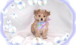 """This baby girl is a doll. She is so tiny and cute. She is full of love. She is ready for a new family to love. She Is a Silky Terrier and Maltese mix-""""Silkese"""".She is micro chipped. She comes with her first series of shots, wormings and a Vet Health"""