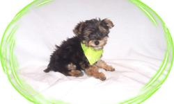 This baby boy is adorable. He is really tiny but has a great big heart. He is a gentle little sweetie that loves everyone. He would love a new family to spoil him. He is a Silky Terrier and a Poodle mix. He is micro chipped. He is hypo allergenic and has