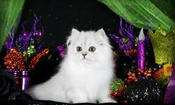 The moment you sit down with Broadway he will knead his tiny paws into your lap and make himself quickly at home. This adorable fella is looking for a loving home for the holiday season. With his adorable doll-face and crisp silverly locks he is sure to