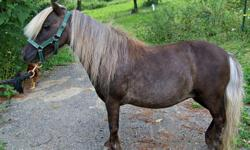 Silver Dapple Miniature Mare 29 inches tall 16 years old. Double registered in AMHA and AMHR. Sweet mare easy to handle. Stands for bathing, grooming and farrier. Loves to be brushed. Leads and ties great ! Had a pretty little appaloosa filly for me last